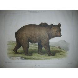 Ours ordre des carnivores