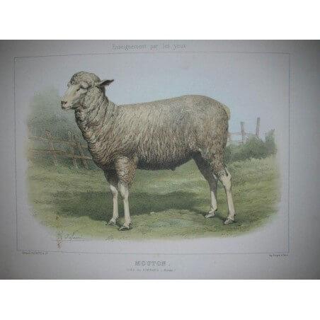 Mouton, ordre des ruminants ( Bovidés)