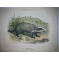 Blaireau, Ordre des carnivores (Mustélidés)