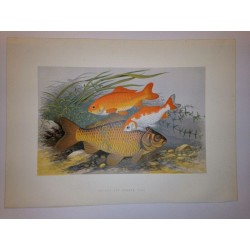 British Fresh Water Fishes HOUGHTON 1879