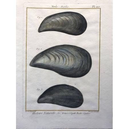 Moules, Mytilus
