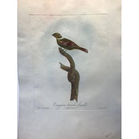 Tangara tricolor femelle