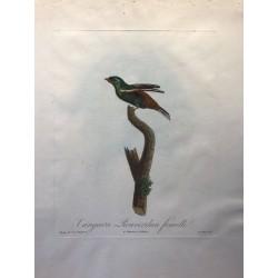 Tangara Rouverdun femelle