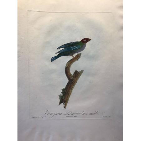 Tangara Rouverdunn mâle
