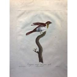 Tangara Rouge Cap jeune mâle