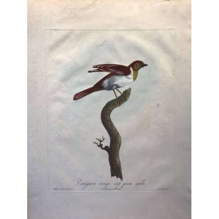 Tangara Rouge Cap jeunemâle