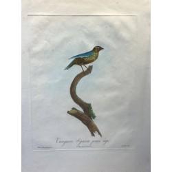 Tangara Syacou jeune mâle