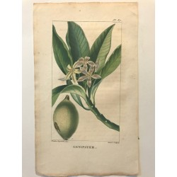 Flore des Antilles, Genipayer
