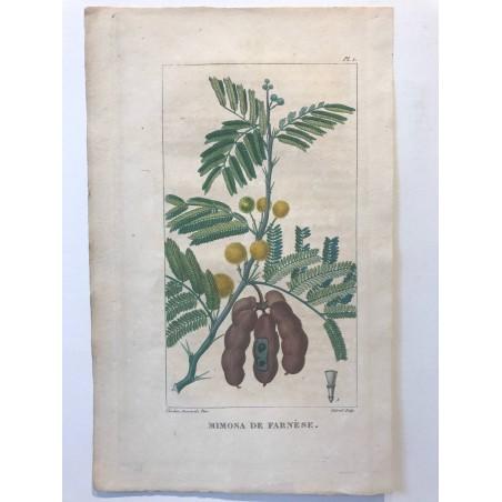 Flore des Antilles, Mimosa de Farnèse