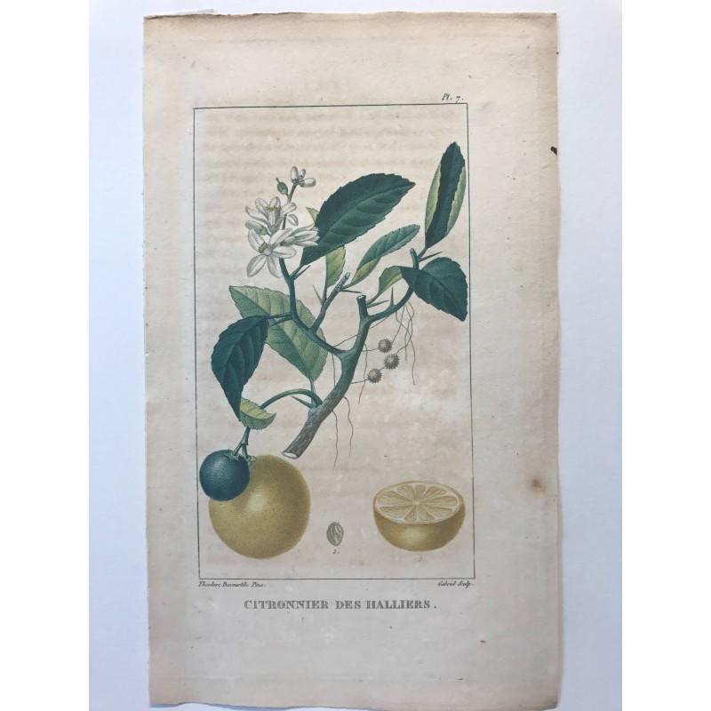 Flore des Antilles, Citronnier des alliers