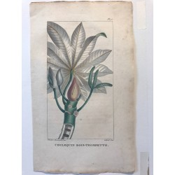 Flore des Antilles, Coulequin bois trompette