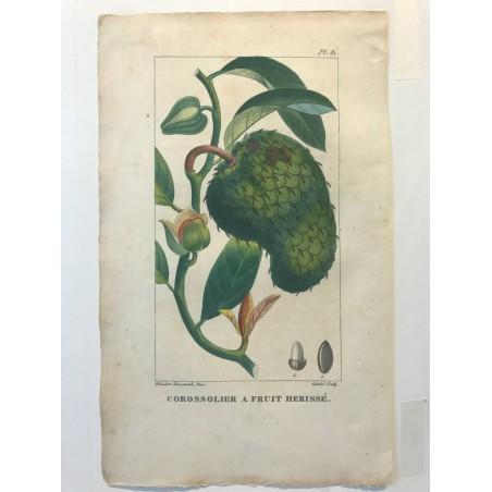 Flore des Antilles, Corossolier a fruit herissé
