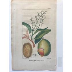 Flore des Antilles, Manguier ou Mango