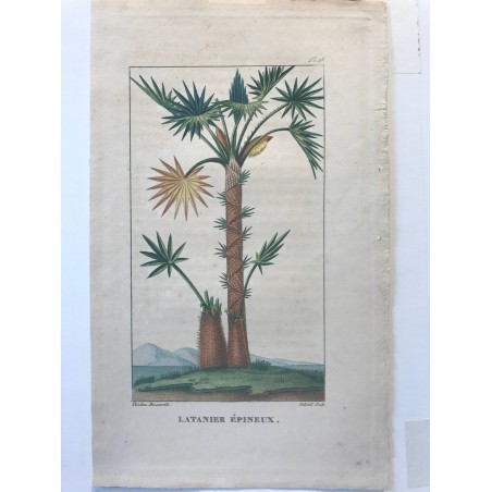 Flore des Antilles, Latanier epineux