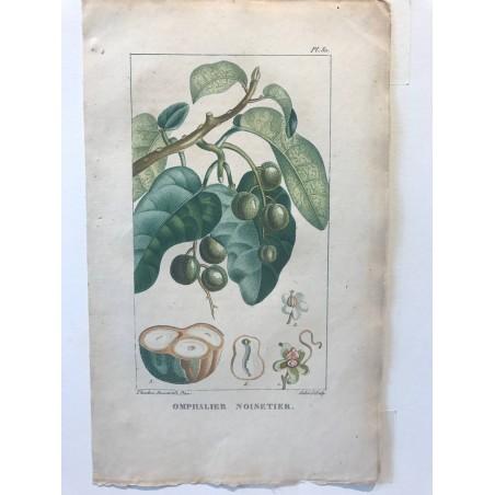 Flore des Antilles, Omphalier noisetier