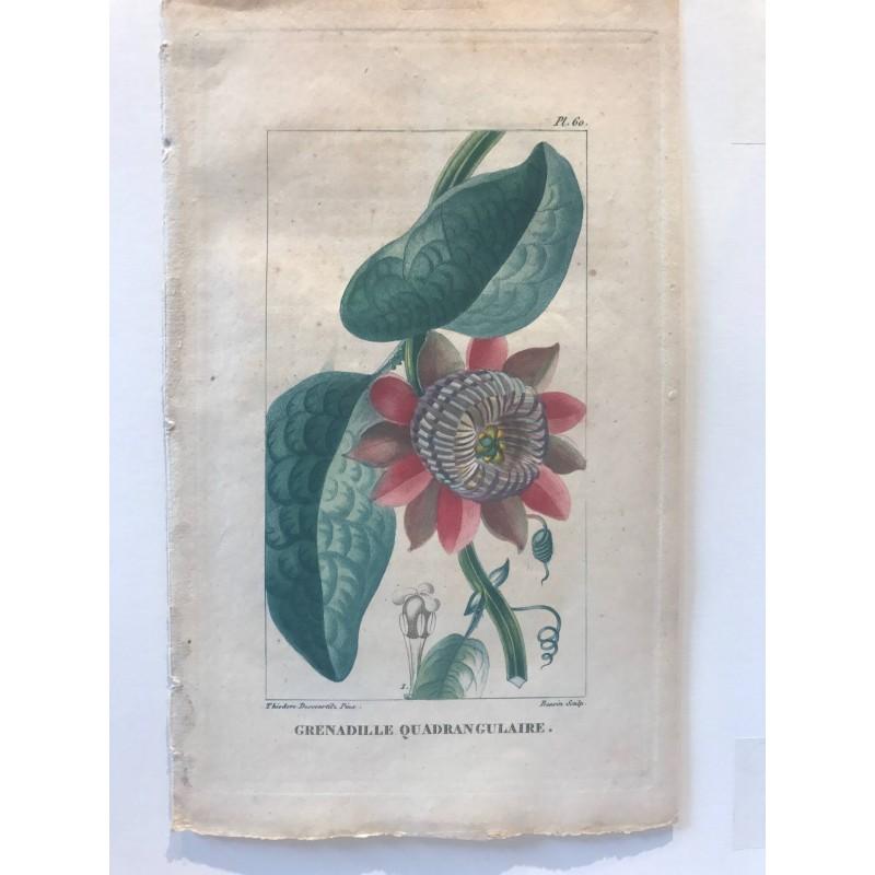 Flore des Antilles, Grenadille quadrangulaire