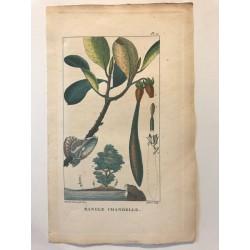 Flore des Antilles, mangle chandelle