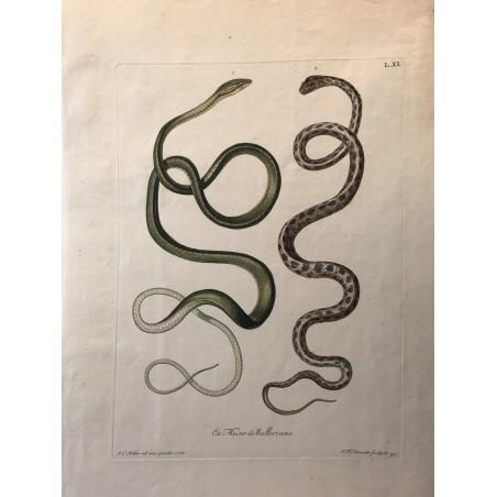 J.W.KNORR, les délices de la nature 1774, serpents