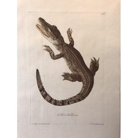 J.W.KNORR, les délices de la nature 1774, crocodile