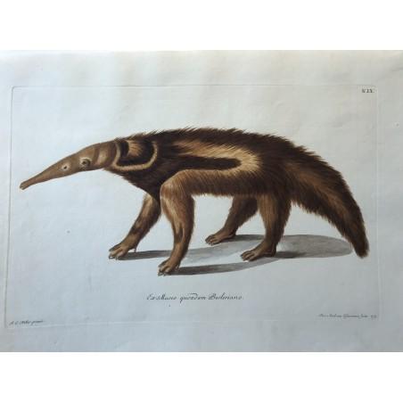 J.W.KNORR, les délices de la nature 1774, fourmillier