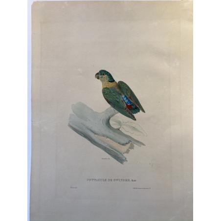 Psittacule de Swinder, Khul, Werner, 1835.