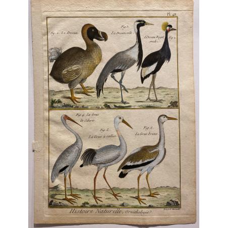 Histoire naturelle, Le Dronte ( Dodo), 1770