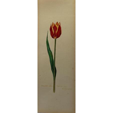 Tulipe, aquarelle vers 1920.