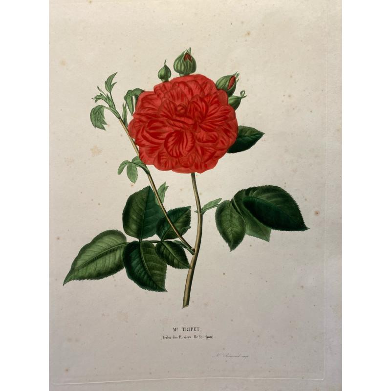 Mme Tripet, tribu des rosiers, Ile Bourbon